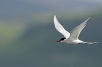 Arctic Tern in flight with a blueish grey background