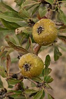 wild pear fruits