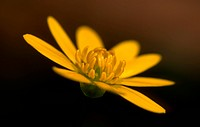 Yellow flower of Lesser Celandine with dark brown and black background