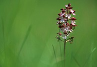 Lady orchid (Orchis purpurea), France