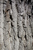 Bark from an old lime tree