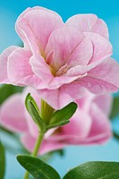 Calibrachoa MiniFamous Double Blush Pink = 'Kleca08164' Double million bells (MiniFamous Series) May.
