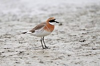 Lesser Sand Plover (Charadrius mongolus) adult, breeding plumage, standing on mud, Mai Po, Hong Kong, China, April