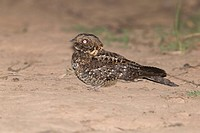 Rwenzori Nightjar (Caprimulgus ruwenzorii) adult male, standing on ground at night, Bwindi Impenetrable Forest, Kanungu District, Uganda, June