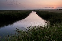 Sea Club-rush (Bolboschoenus maritimus) growing along banks of flooded ditch, in grazing marsh habitat at sunrise, Elmley Marshes N.N.R., Isle of Shep...