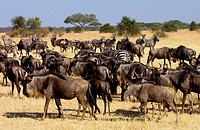 Migrating Blue Wildebeest and Common Plains Zebra (Grant's), Grumeti, Tanzania