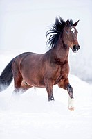 Latvian Riding Horse. Bay adult galloping in snow. Germany