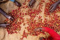 coffee production in Kenya.