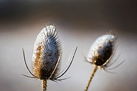 Shanksville, Pennsylvania - Teasel (Dipsacus), coated with ice after a winter storm.
