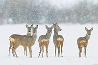 Roe deers in winter, Capreolus capreolus, Hesse, Germany, Europe.