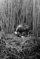 Bittern at nest, Minsmere Suffolk 1950. Taken by Eric Hosking