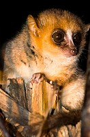 A nocturnal Mouse Lemur in Adasibe forest in Eastern Madagascar.