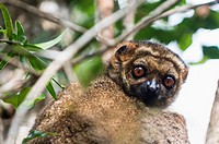 A common Brown Lemur in Andasibe forest in Eastern Madagascar.