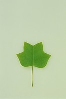 Tulip tree leaf