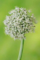 Common Onion (Allium cepa), blossom, Germany