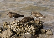 Black Turnstone (Arenaria melanocephala) three adults, non-breeding plumage, feeding along shoreline, North California, U.S.A., February