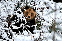 Brown bear, European bear, European brown bear, predator, Ursus arctos, bear, brown bear, winter, animal, animals, Germany, Europe,