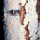 Downy Birch, Moor Birch, White Birch or European White Birch bark (Betula pubescens), Betulaceae. Detail.