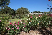 Hybrid tea roses in bloom at the Huntington Gardens and Library, San Marino, California, USA
