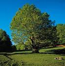 Beech tree (Fagus sylvatica), Lesser Sila, Sila National Park, Calabria, Italy.
