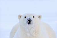 United States,Alaska,Arctic National Wildlife Refuge,Kaktovik,Polar Bear( Ursus maritimus),adult female,along a barrier island outside Kaktovik,Every ...