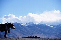 Small working horse in front of mountain landscape, Tibet, China