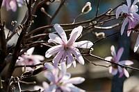 Star magnolia (Magnolia stellata ) - , Hamburg, Germany, 10/04/2009