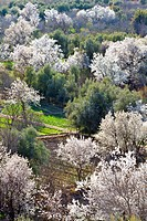 Almond blossom, El-Kelaa M'Gouna, Morocco, North Africa, Africa