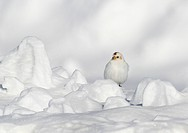 Snow Bunting, Plectrophenax nivalis, sat on a snow drift at Hudson Bay, in Saskatchewan