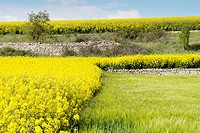 Fields of Canola Brassica napus flowered in Spring, Spain.