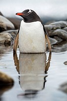 Antarctica, Cuverville Island, Gentoo Penguin (Pygoscelis papua) standing in shallow lagoon along Errera Channel.
