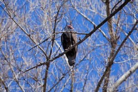 Turkey Vulture, Sepulveda Basin Wildlife Reserve, San Fernando Valley, Los Angeles, California, USA