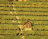 Vineyard with hut in evening light and in the autumn