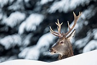 Red Deer (Cervus elaphus) in the snow, portrait, Stubai Valley, Tyrol, Austria