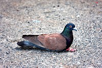 The Rock Dove (Columba livia)