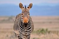 Cape mountain zebra (Equus zebra zebra), Mountain Zebra National Park, Eastern Cape, South Africa, Africa.