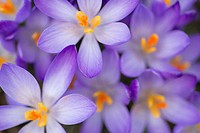 Spring crocus, United Kingdom.