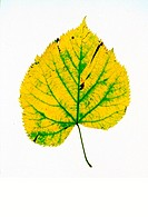 This is a cordata leaf.