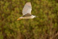 Night Heron (Black-crowned) Nicticorax nycticorax, Danube Delta, Romania