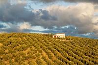 Cultivated olive trees (Olea europaea) and farmhouse. Málaga province, Andalusia, Spain.
