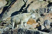 Mountain Goats, Oreamnos americanus
