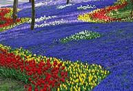 Turkey, Istanbul, Yildiz Park, Tulips, Tulipa and Grape hyacinths, Muscari