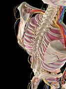 Human spine, computer artwork.