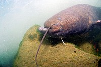 Wels catfish in the Rhône river, south of France. Silurus glanis.