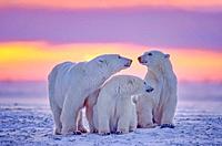 Polar bear family in Arctic sunset.