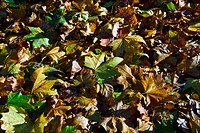 Brown and green fallen leaves on the ground in autumn; Ireland