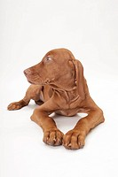 Smooth-haired Hungarian Vizsla (Canis lupus familiaris). Puppy lying, seen head-on. Studio picture against a white blackground