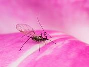 Aphid on rosa / Röhrenblattlaus auf Rose