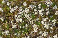 Spring draba, Shadflower, Nailwort, Vernal whitlow grass, Early witlow grass, Whitlow-grass (Erophila verna, Draba verna), blooming population, German...