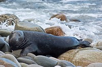 Grey Seal (Halichoerus grypus), male or bull on rocks by waves, on the north coast of Scotland near Cape Wrath. (Part of the North West Highlands Geop...
